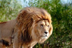 South Africa, Mpumalanga, Close-up of lion