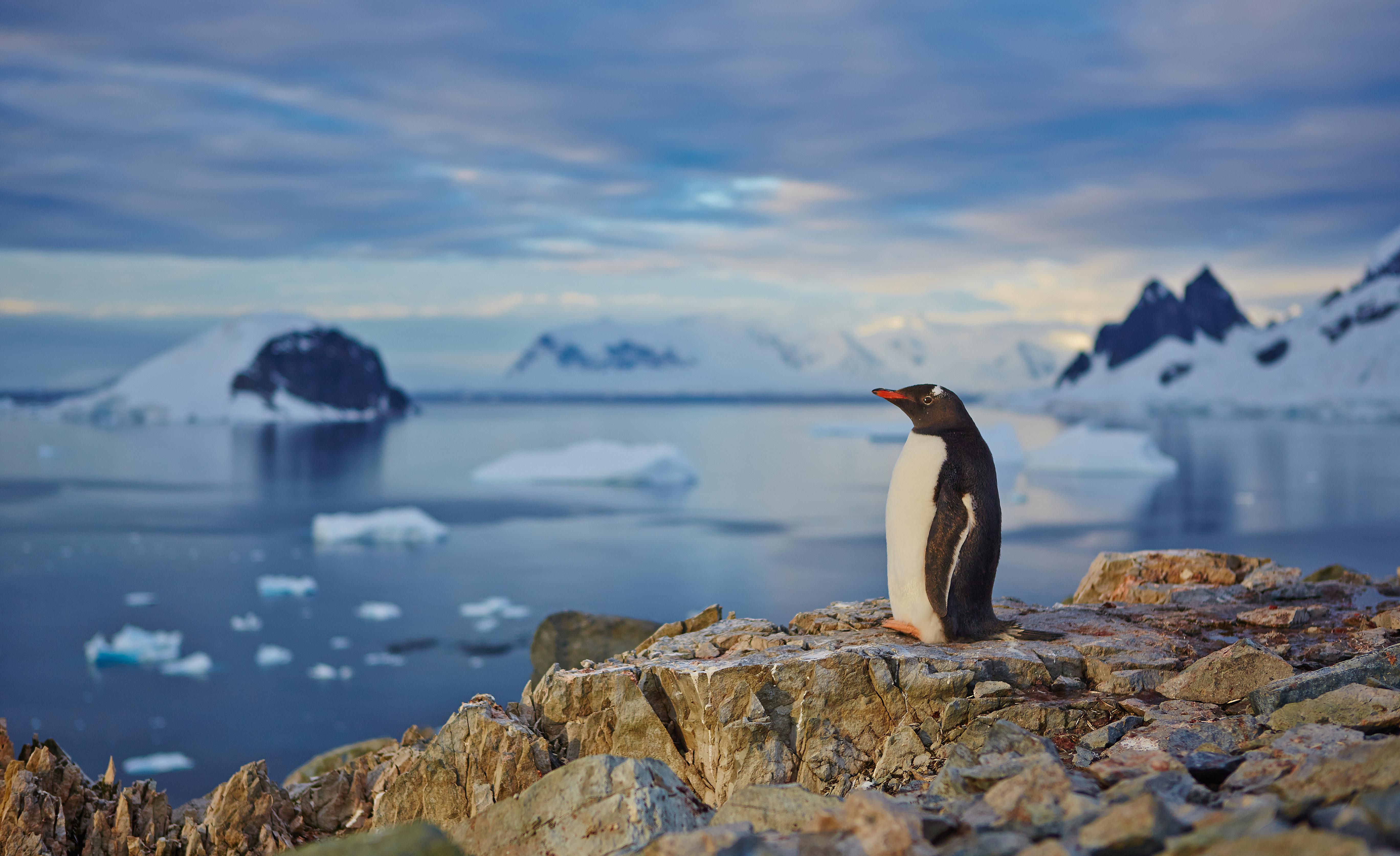 Gentoo penguin overlooking bay