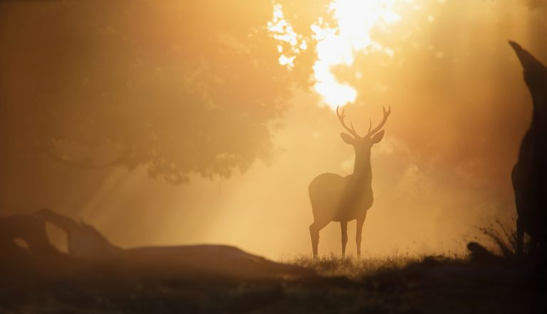 Deer in the Sunrise