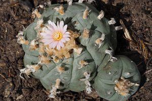 Flowering Peyote (Lophophora williamsii)