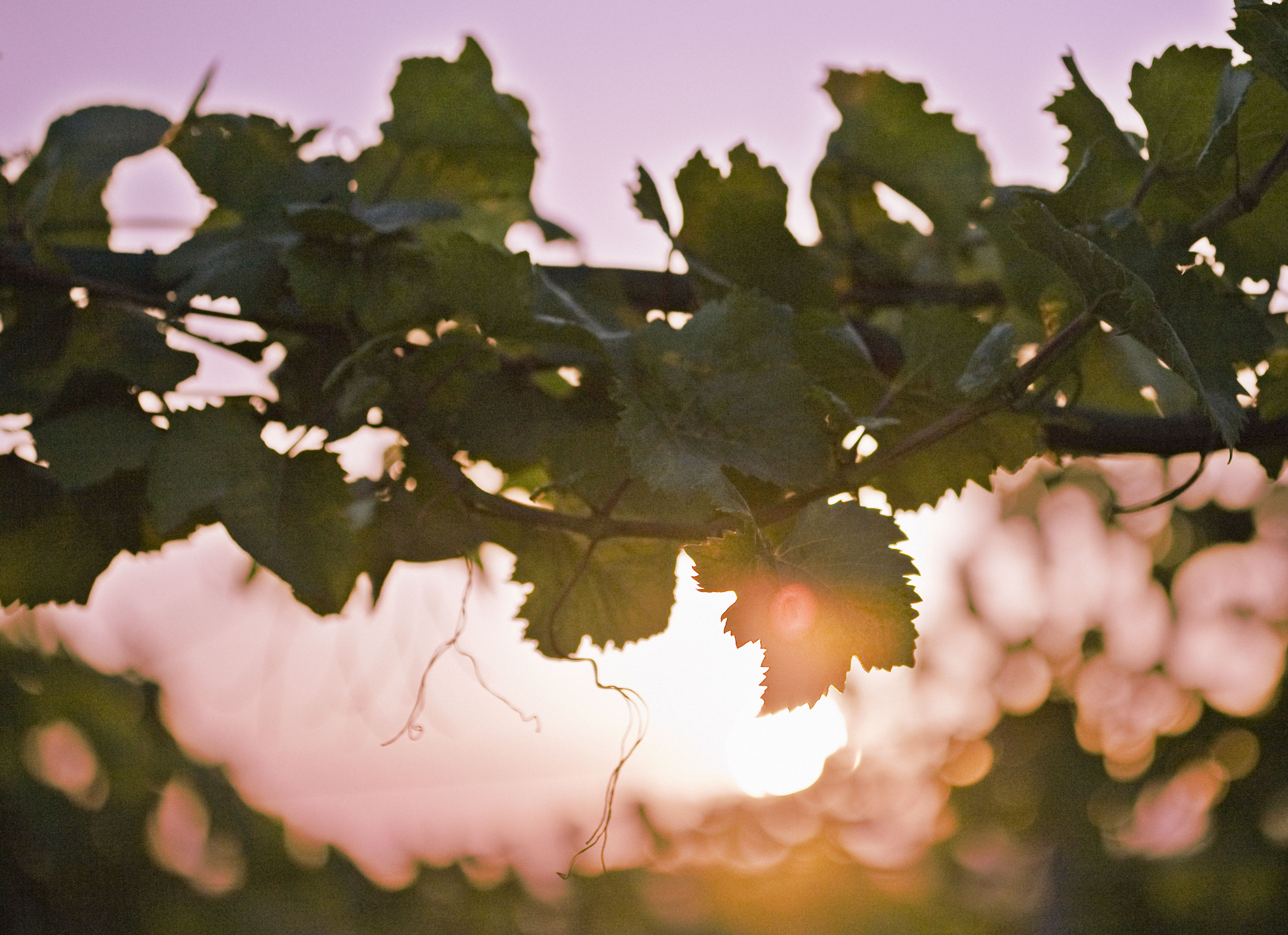 Vines tendrils at sunset, close-up