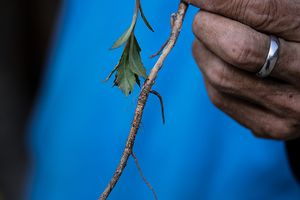 Sage as a Native American healing practice