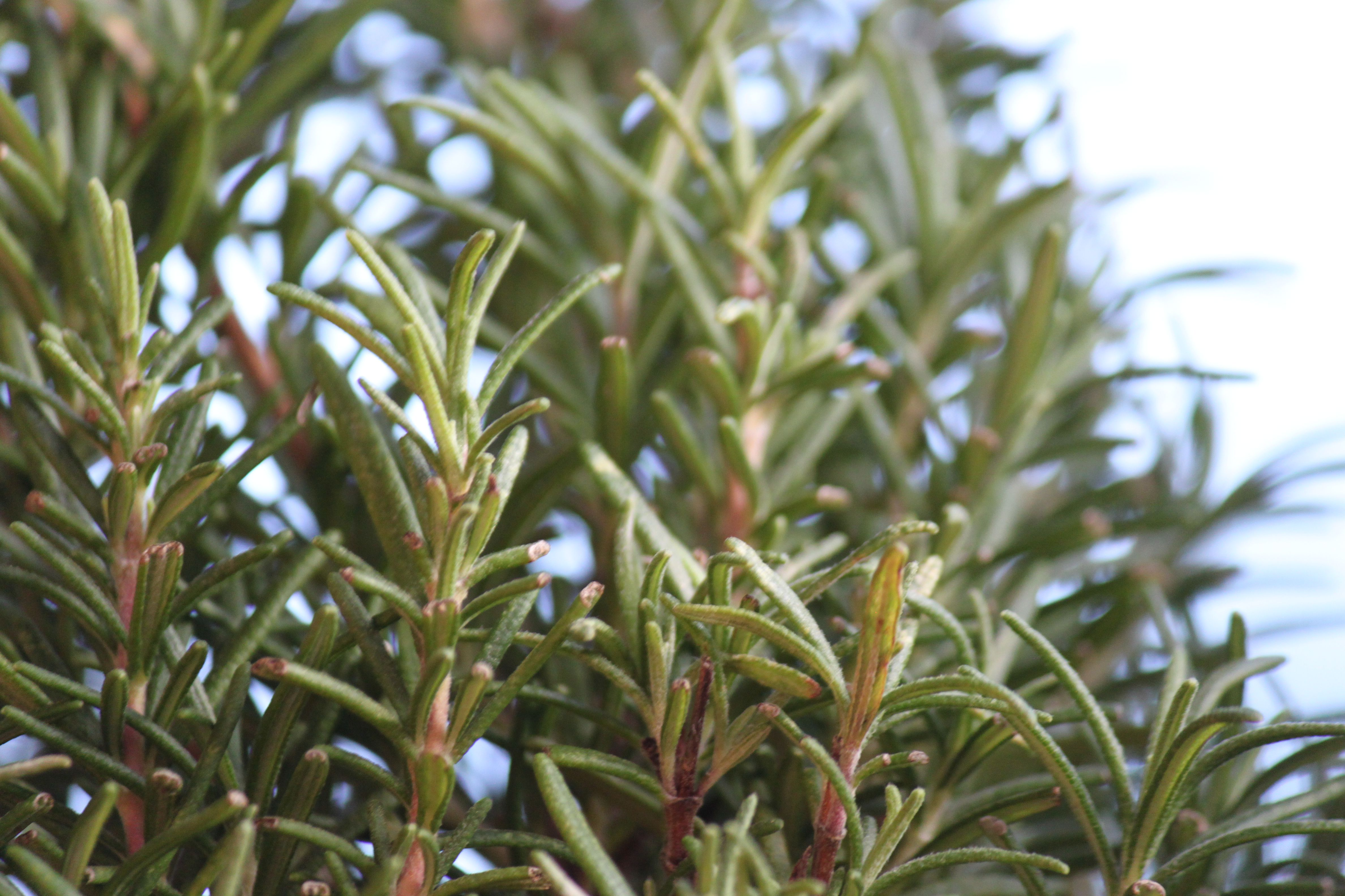 Rosemary Herb Plant