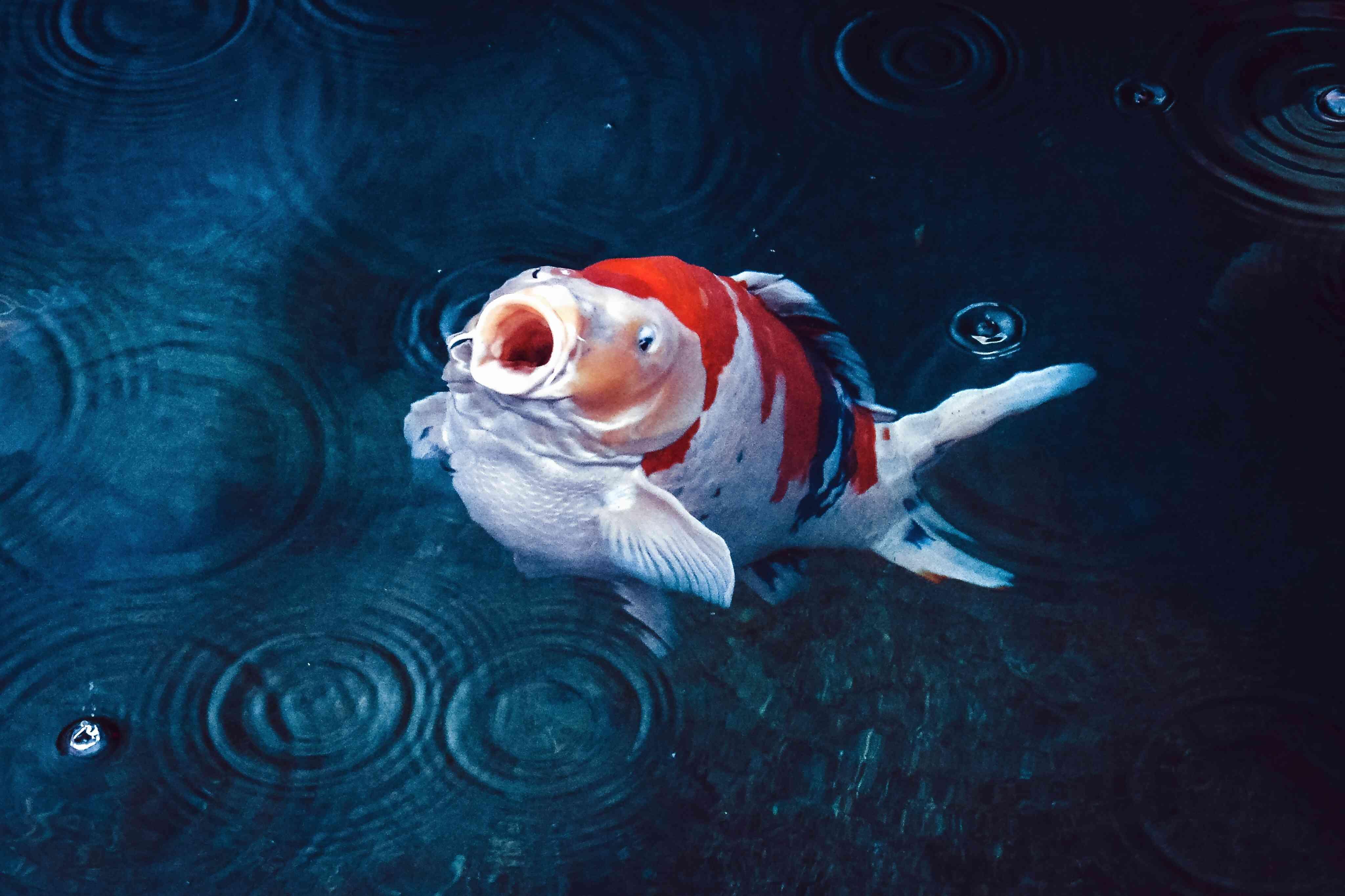 Red And White Koi Carp Fish Underwater