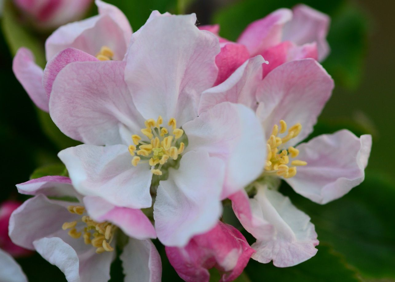 Close-Up Of Apple Blossom Flowers