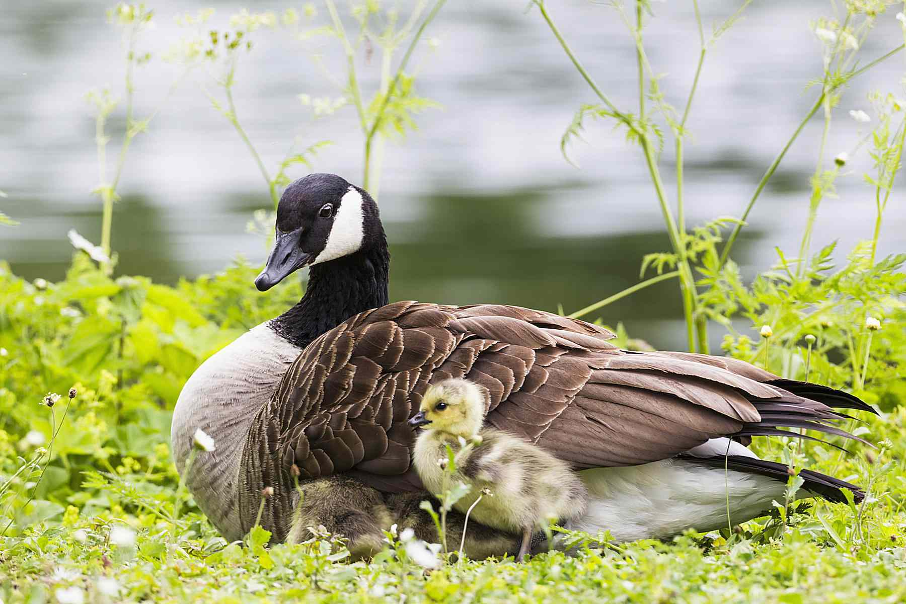 Goose with baby gosling