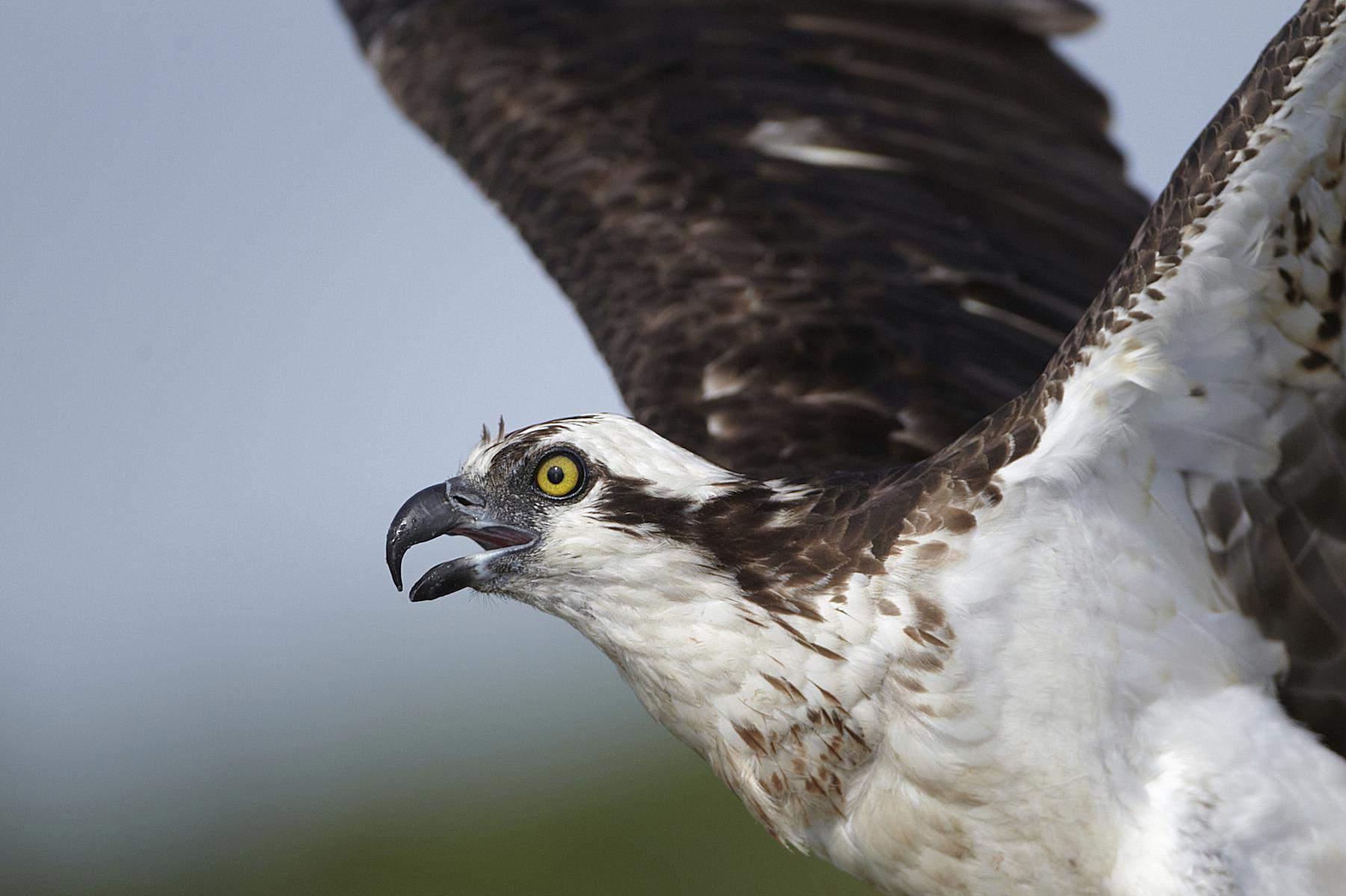Osprey close up