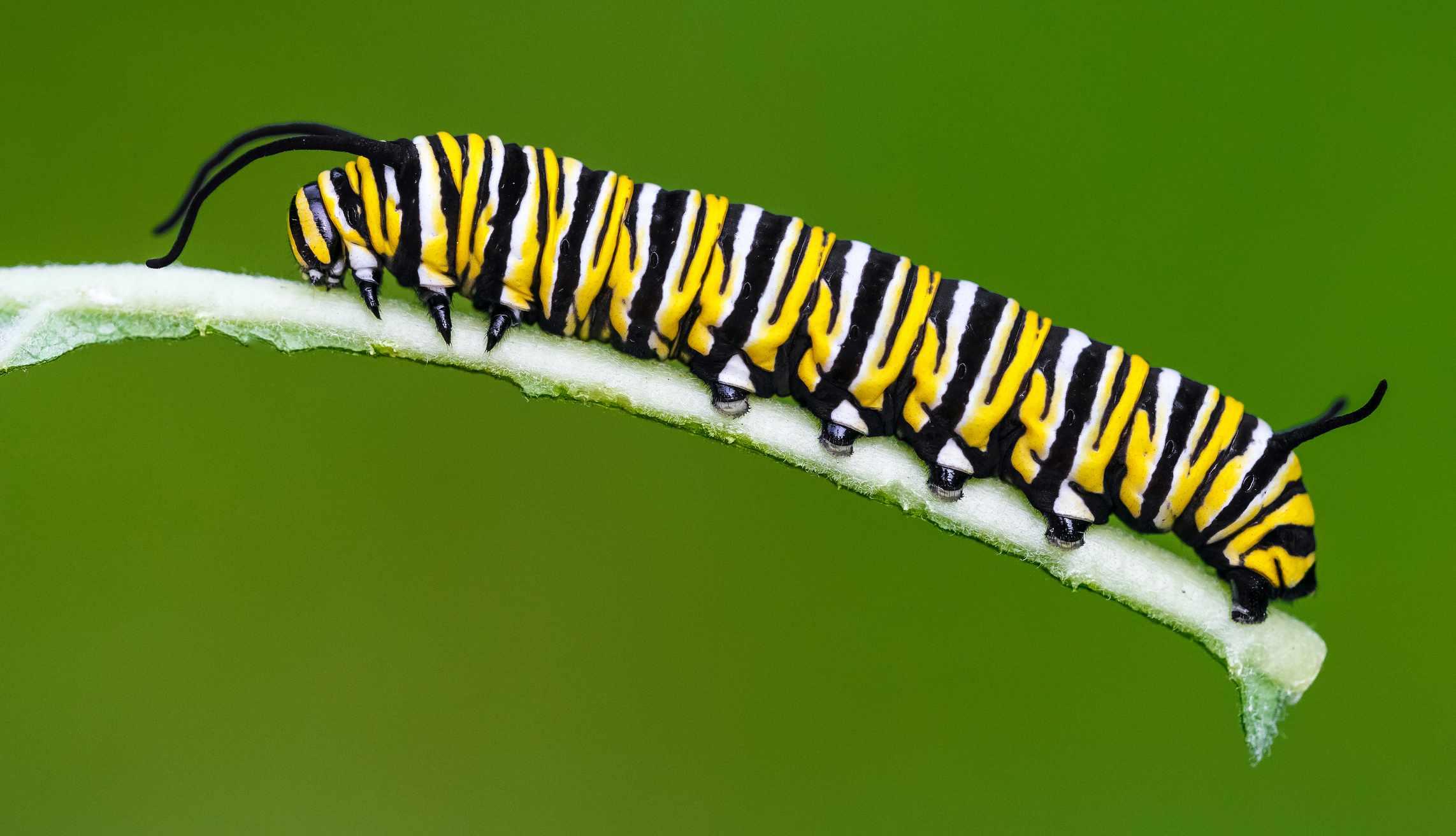 Danaus plexippus – Monarch butterfly caterpillar