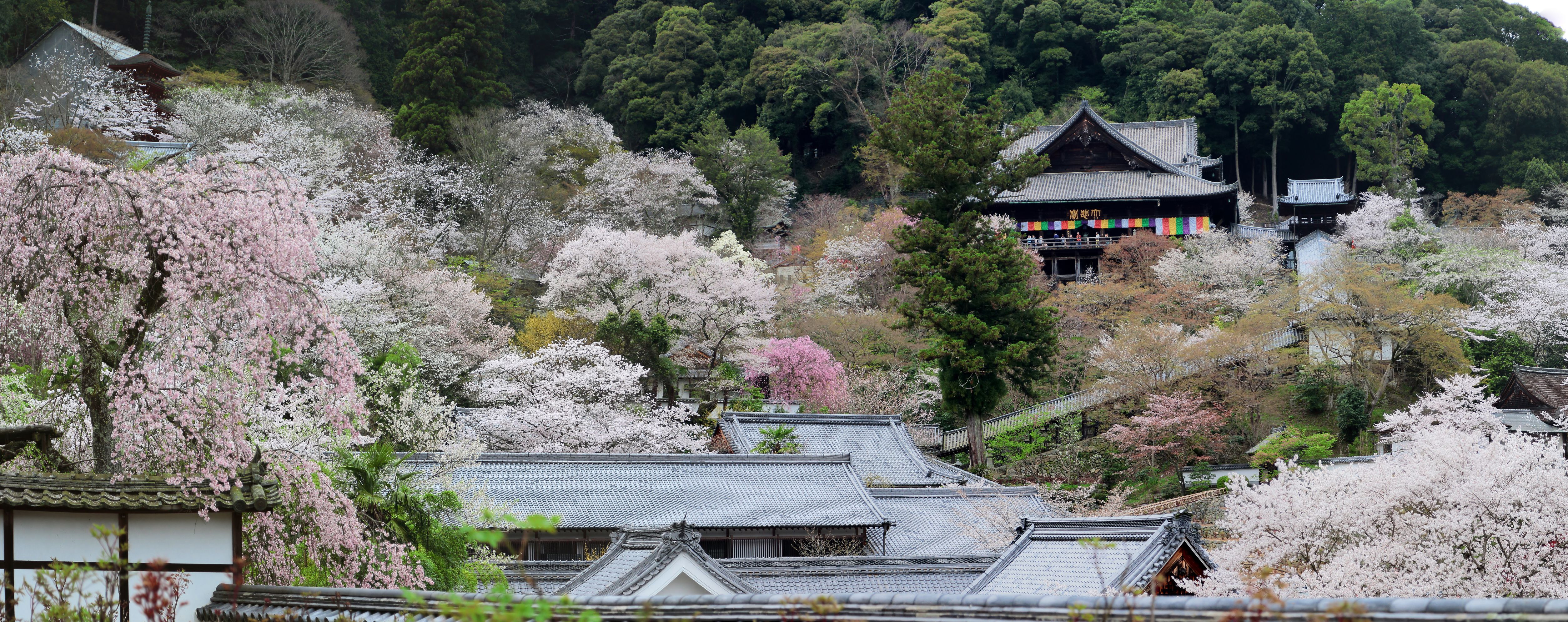 Hana Matsuri often coincides with the blooming of cherry blossoms. Hasedera temple in Nara Prefecture is nearly buried in blossoms.