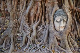 Buddha statue in roots