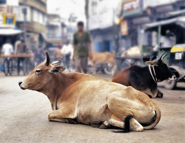 Cow Resting in the Middle of the Street
