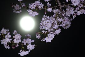 Sakura and the moon