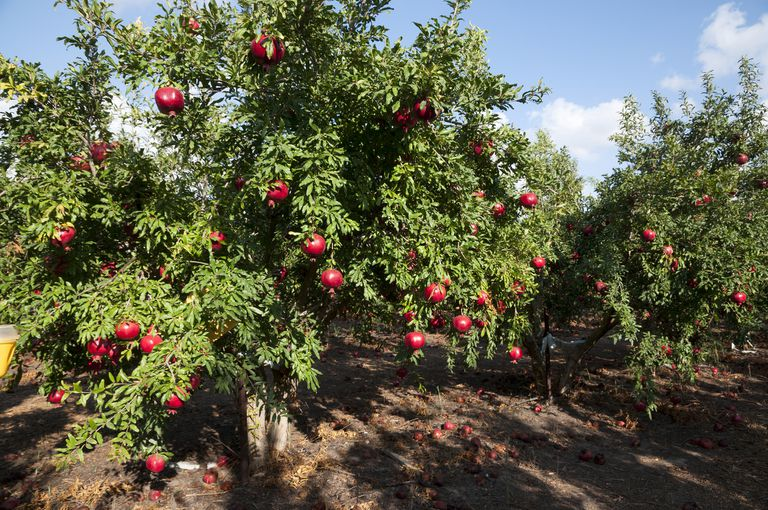 Pomegranate tree plantation