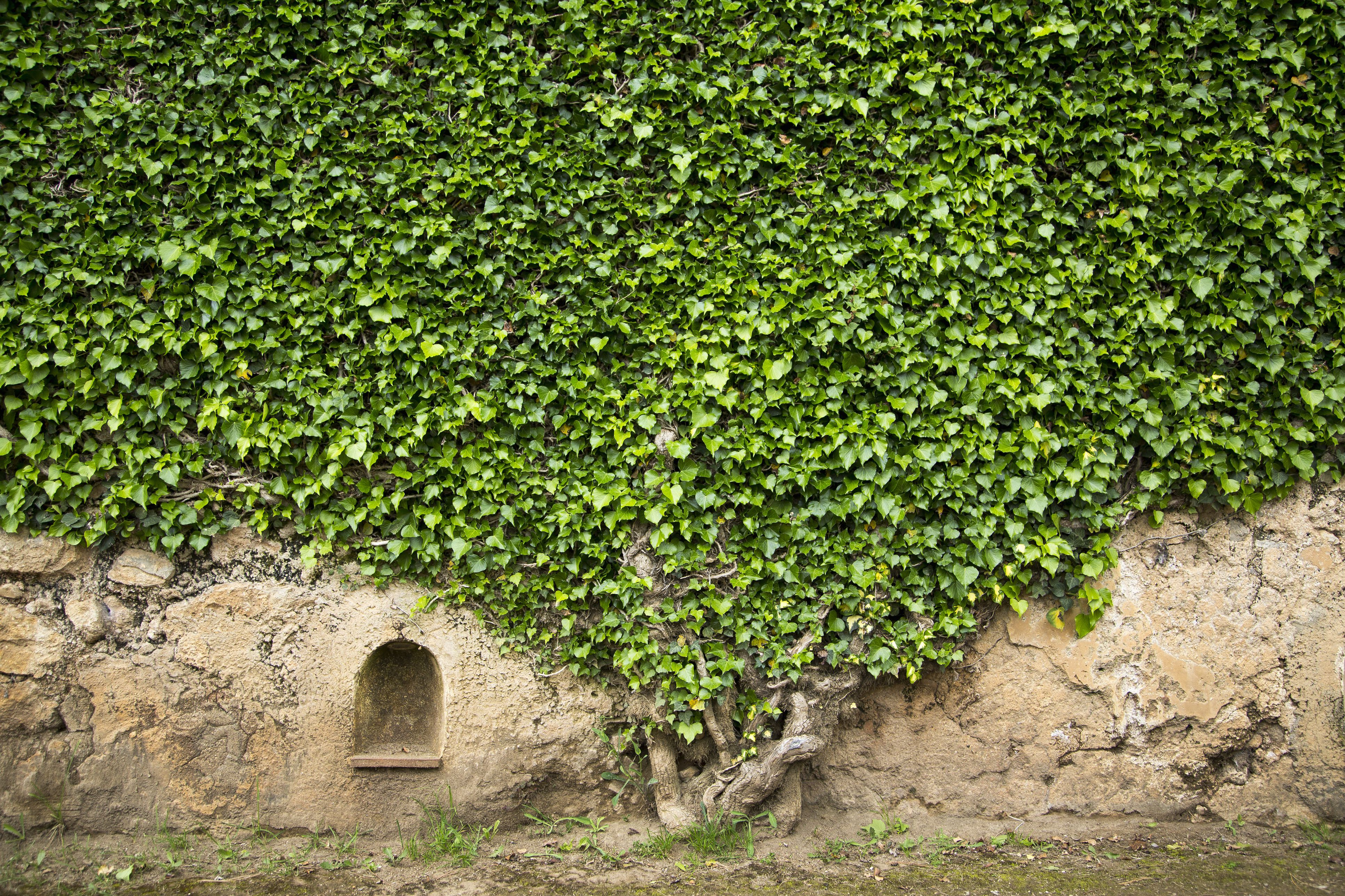 Ivy on a wall of Villa Cimbrone, Ravello