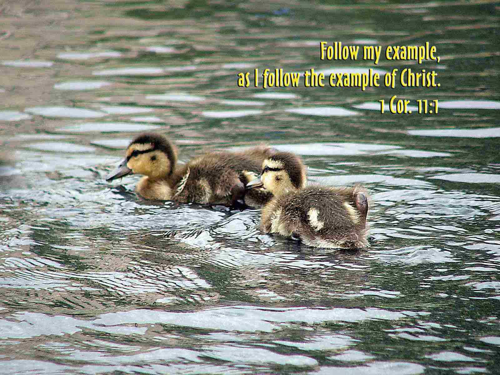 Baby Ducks Wallpaper with bible verse
