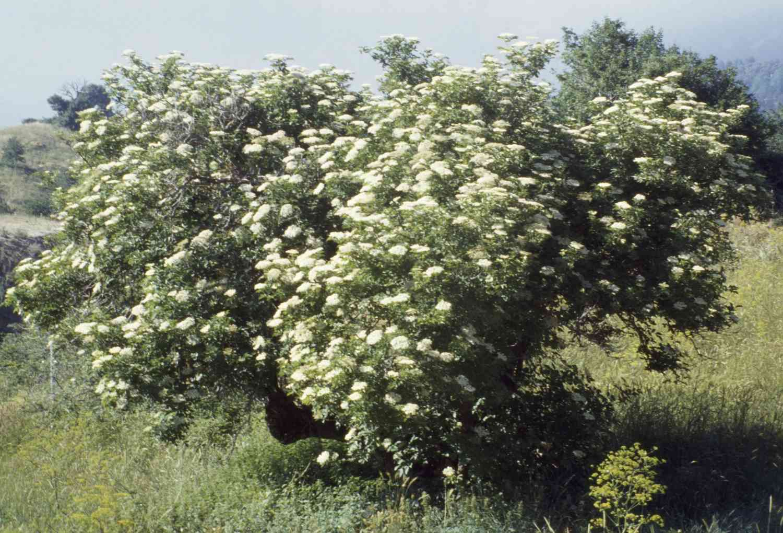 Elder Trees