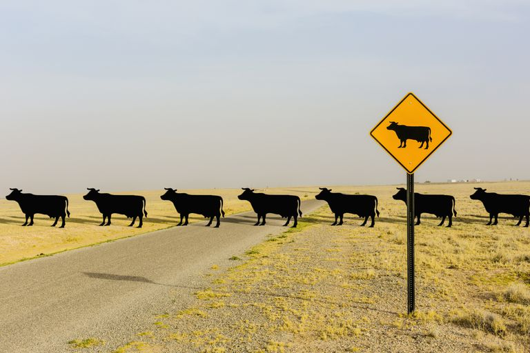 Cows repeating across a road