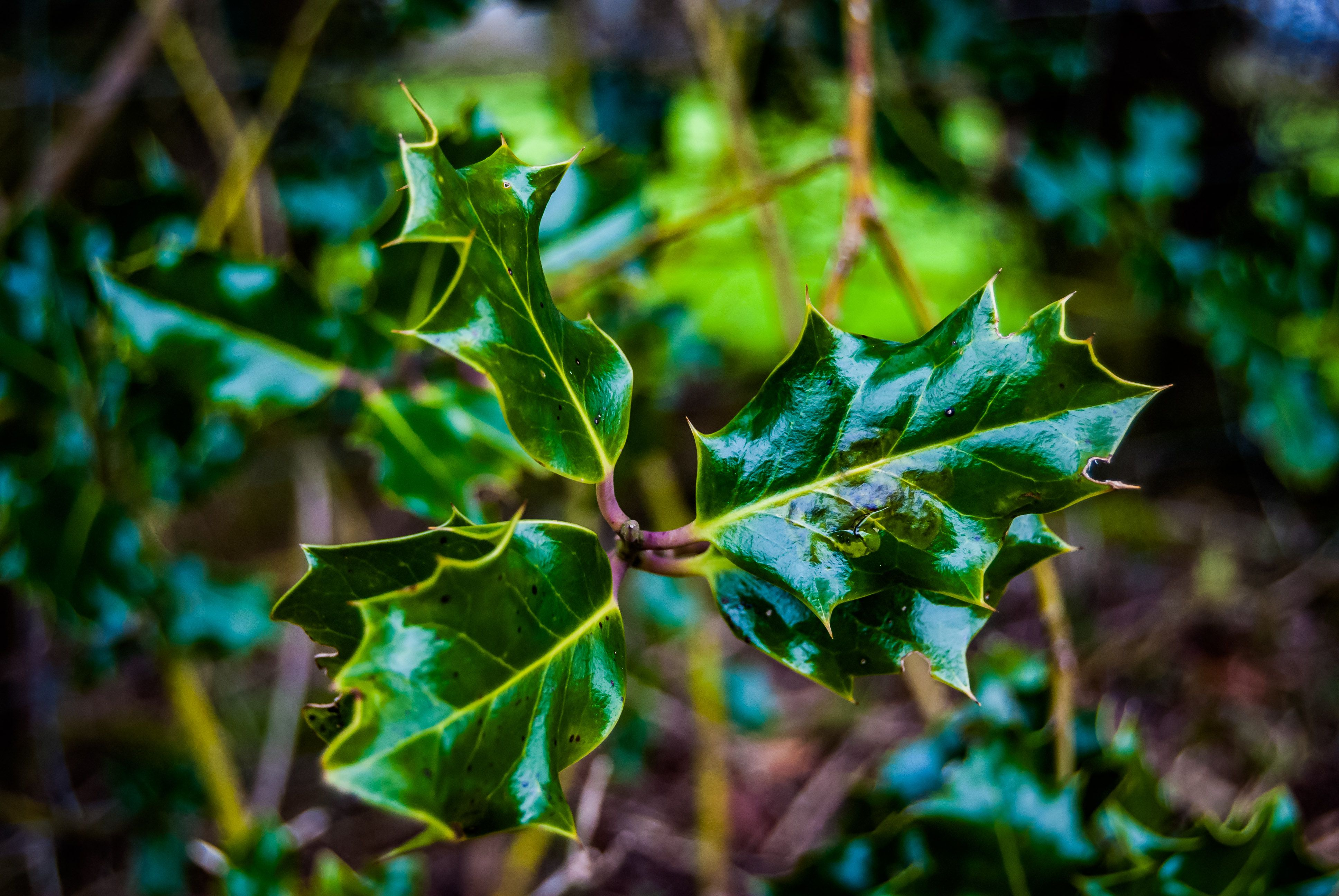 Close-Up Of Common Holly Plant