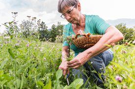 Senior Woman on Summer Day Picking Up Yarrow Achillea Flowers on Alpine Pasture