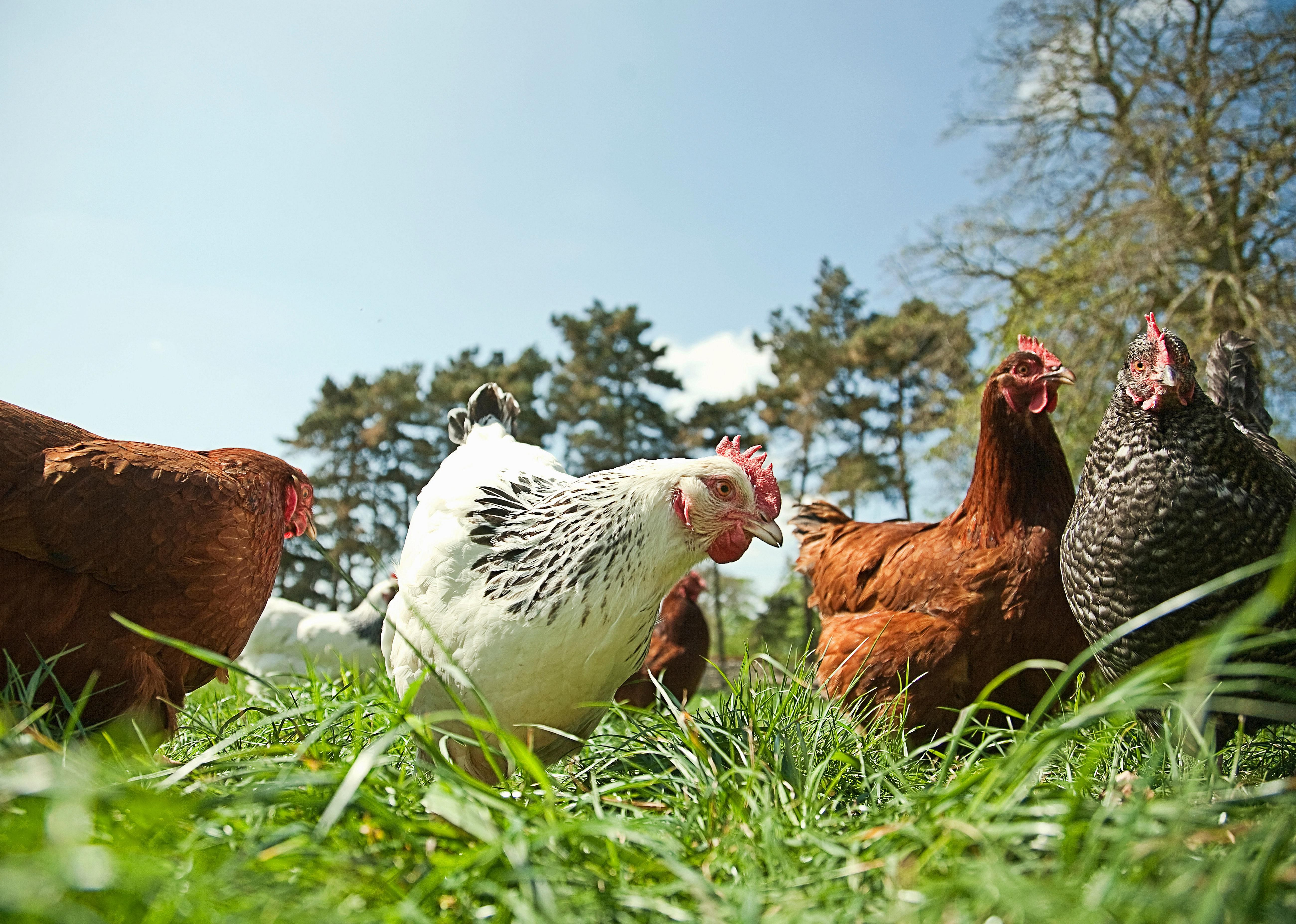 Small group of free range hens in grass