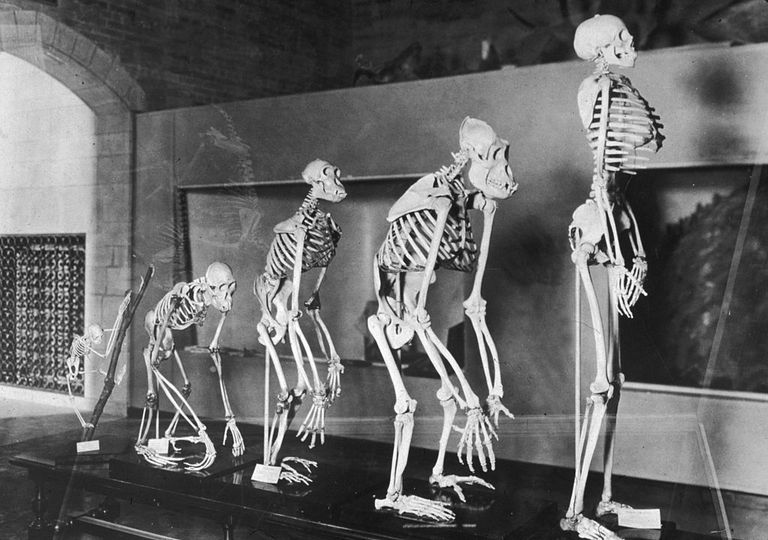 Skeletons showing human evolution