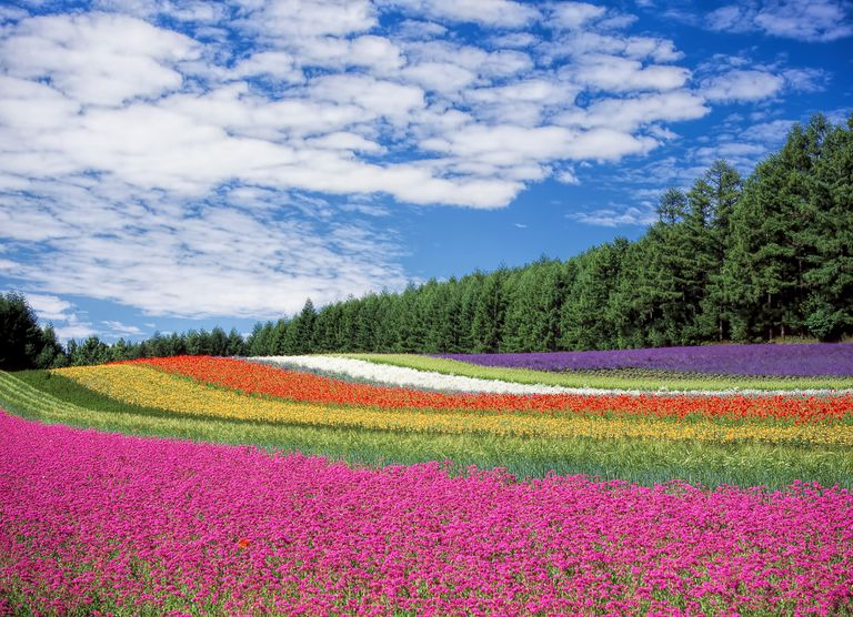 Field of multicolored bands of flowers.