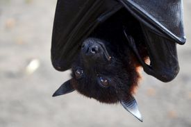 Hanging upside down, a flying fox smiles