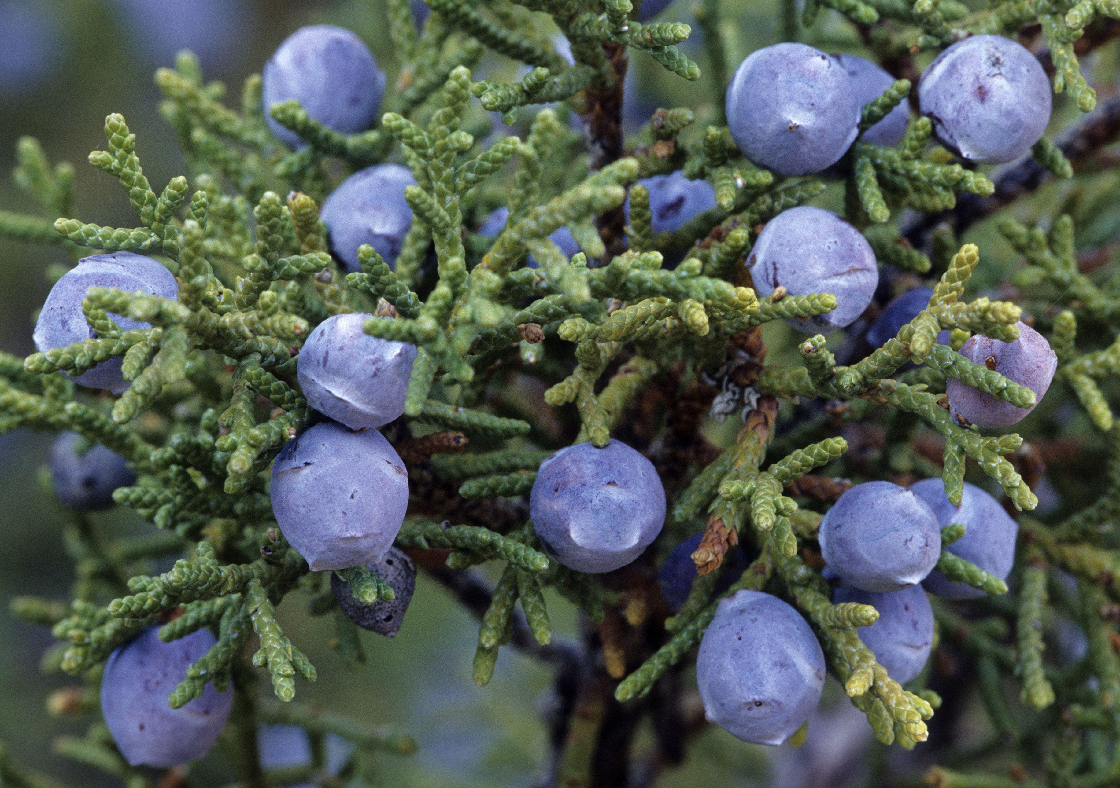 Rocky Mountain Juniper with juniper berries. Juniperus scopulorum. Semi-fleshy, bluish cones. Found widely throughout the Rocky Mountain region. Zion National Park, Utah. USA