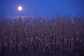 Full moon above the corn field