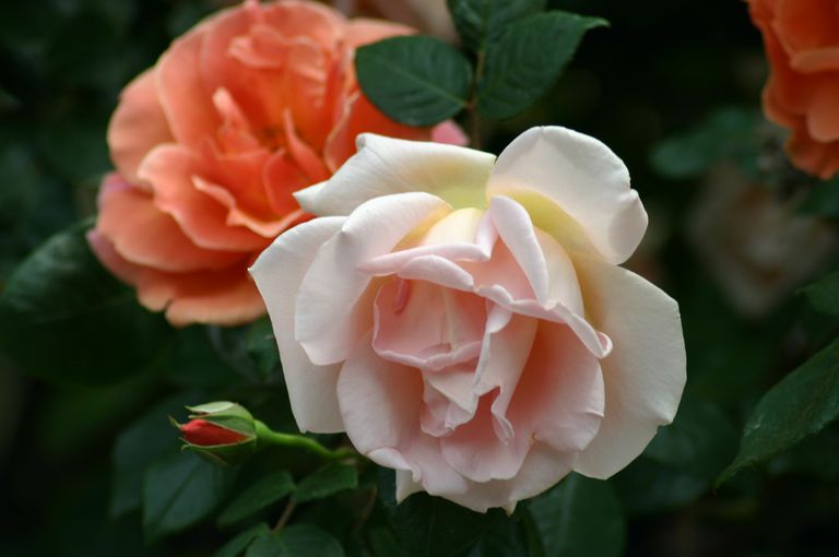 royal sunset rose