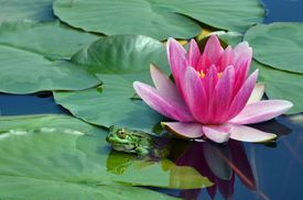 A lily in a pond with a frog