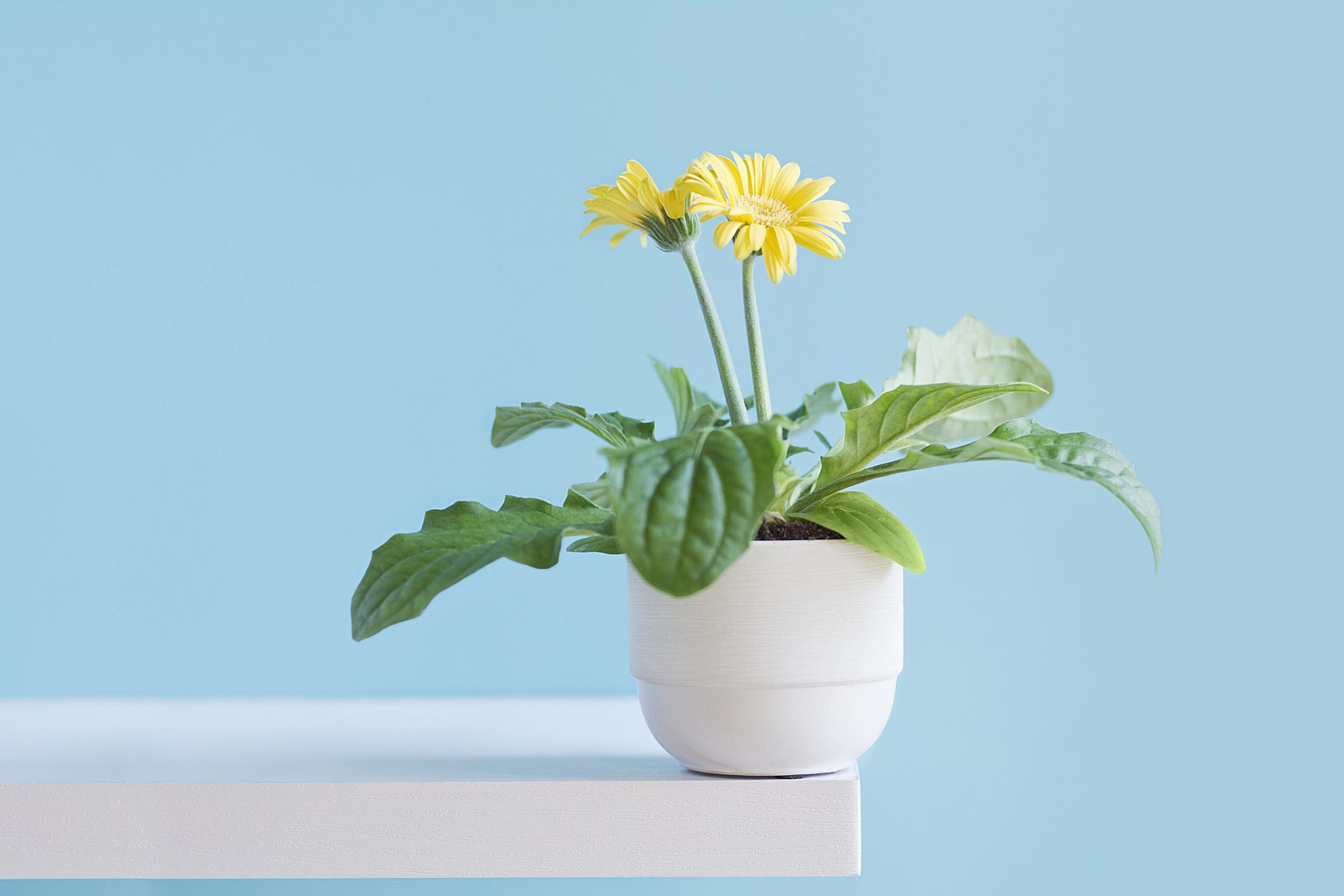 gi-plants-gerbera-daisy.jpg