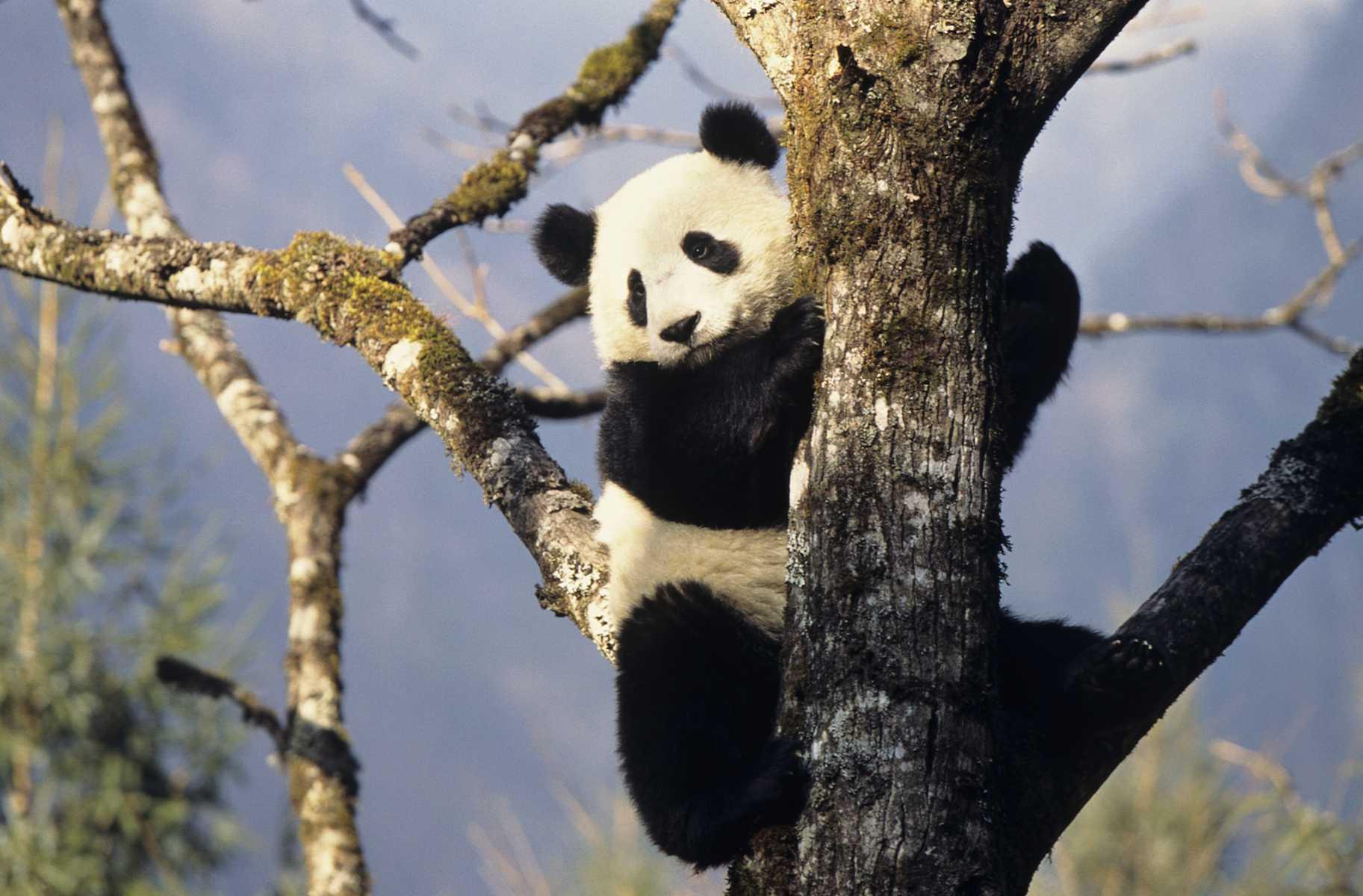 Panda Bear Totem