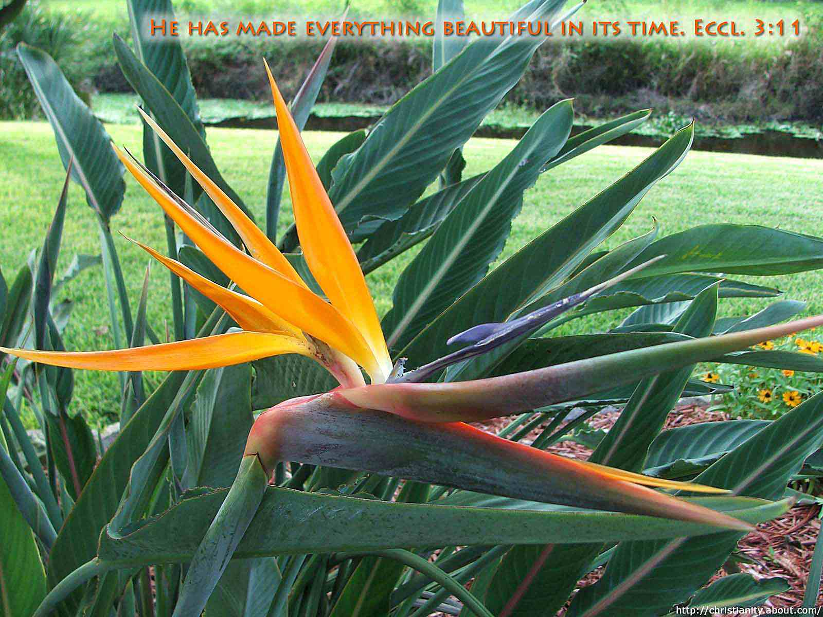 Beautiful Bird of Paradise Flower with bible verse