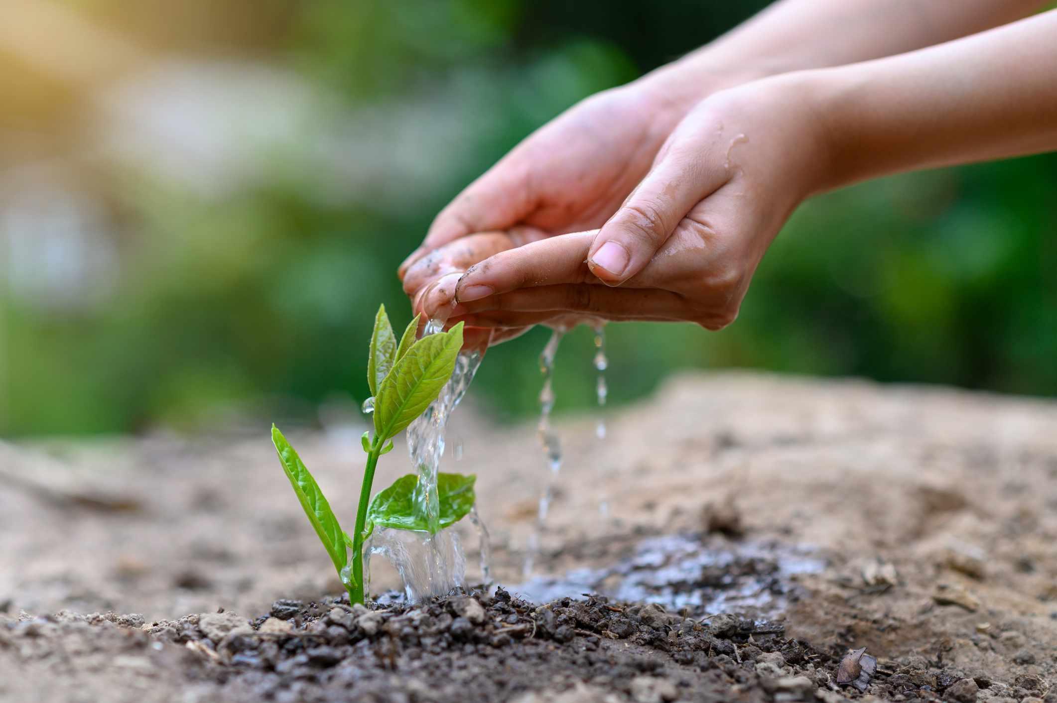Hands watering freshly planted seedlings