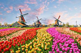 tulip fields with windmills in background
