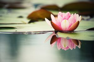 Pink Lotus Reflected