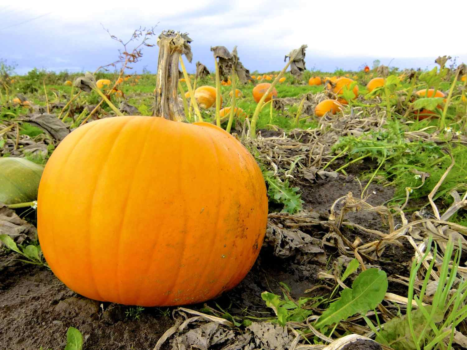 A great pumpkin for carving