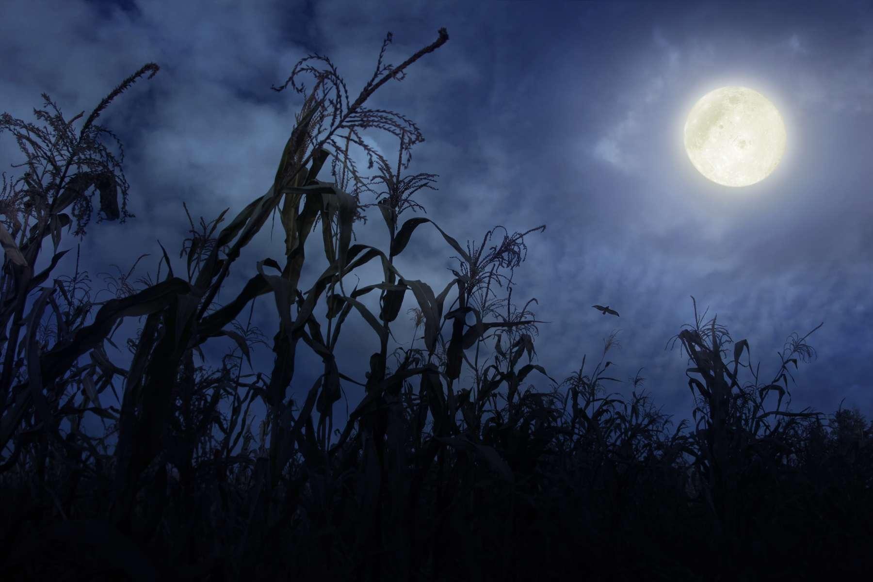Cornfield at Night