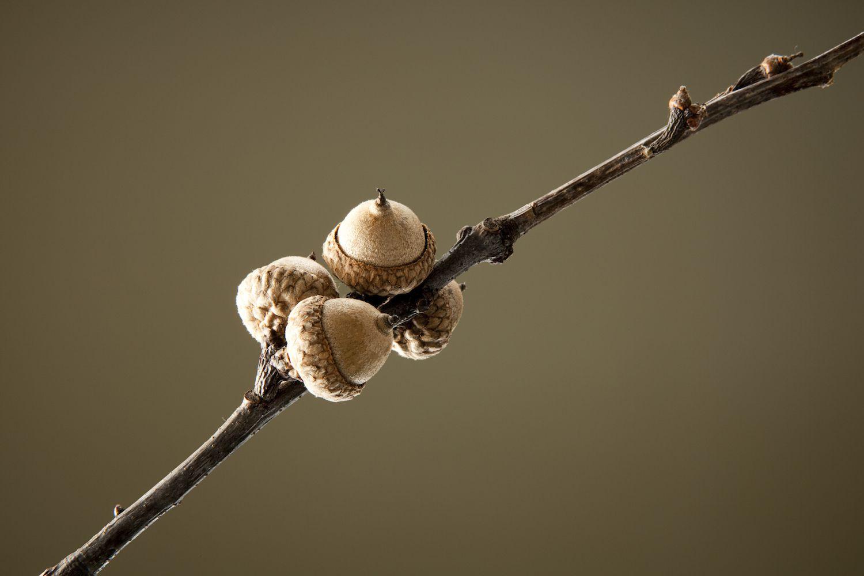 Acorns on Branch