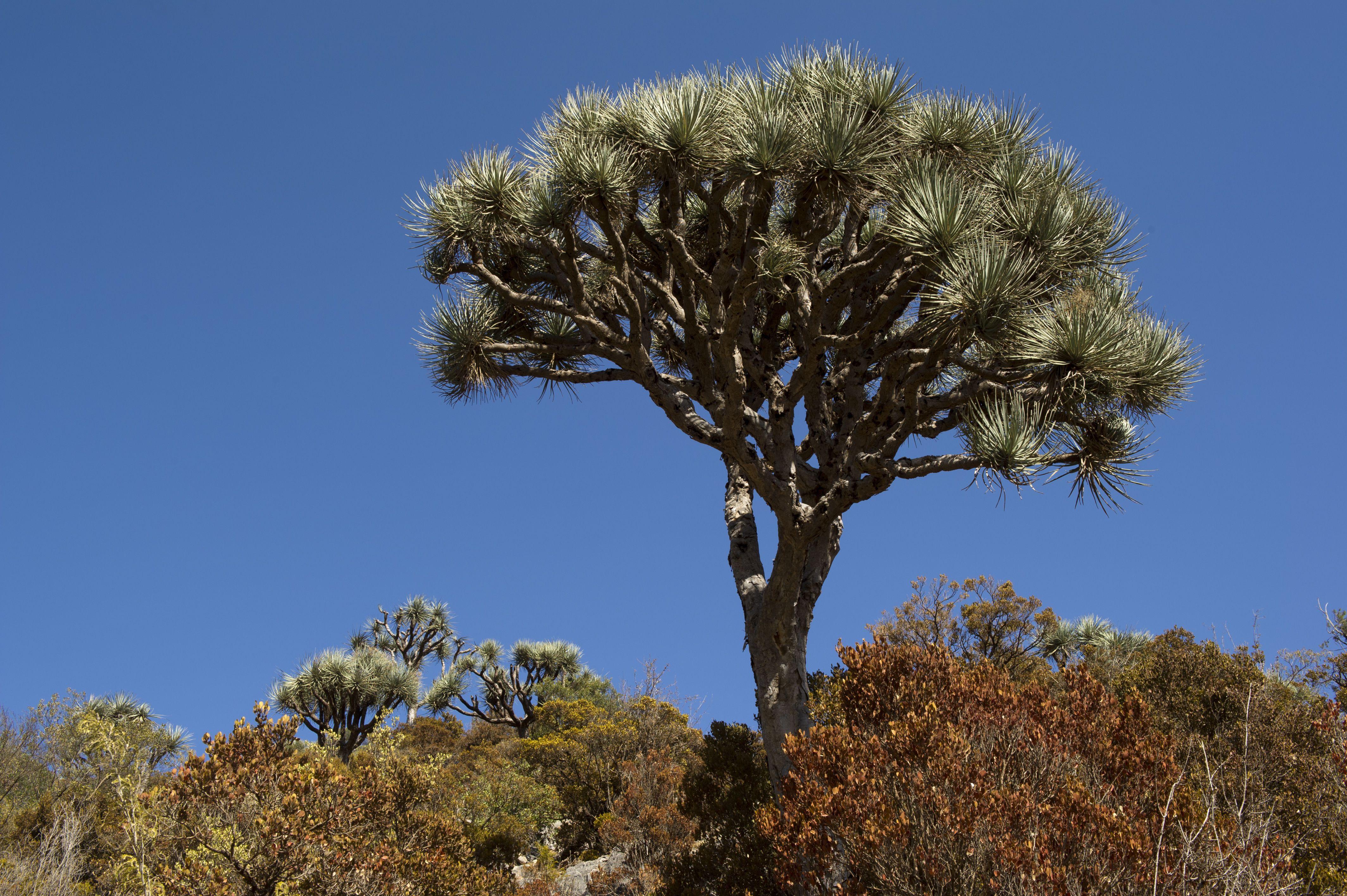 Dragon blood tree (Draceana ombet) on Daallo escarpment.