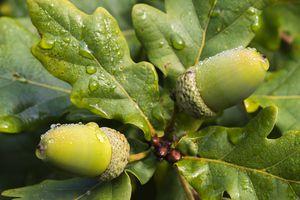Acorns and Oak