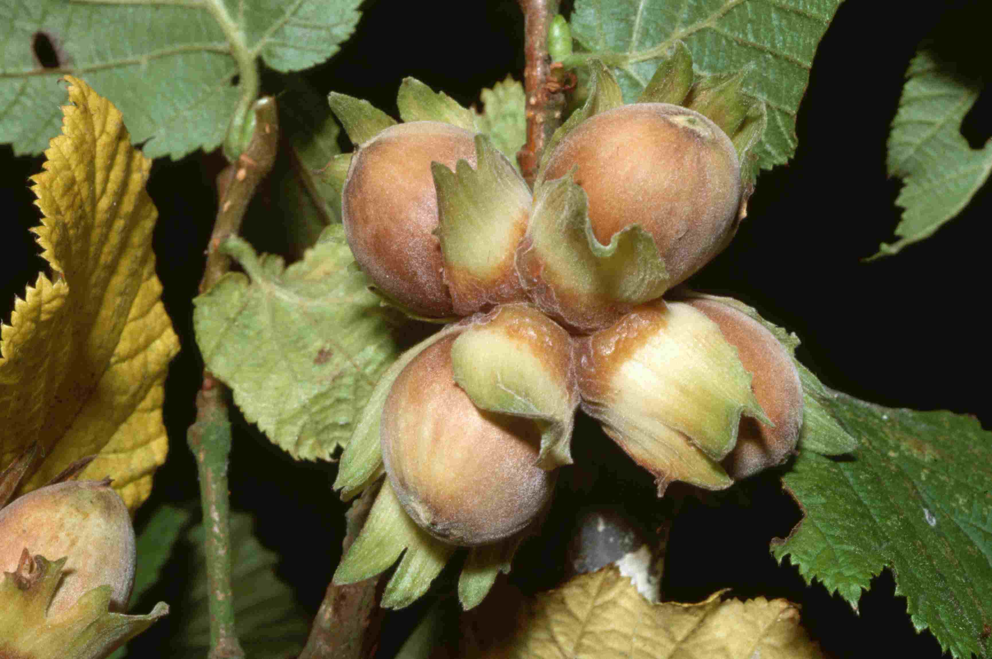 Hazelnuts on Trees