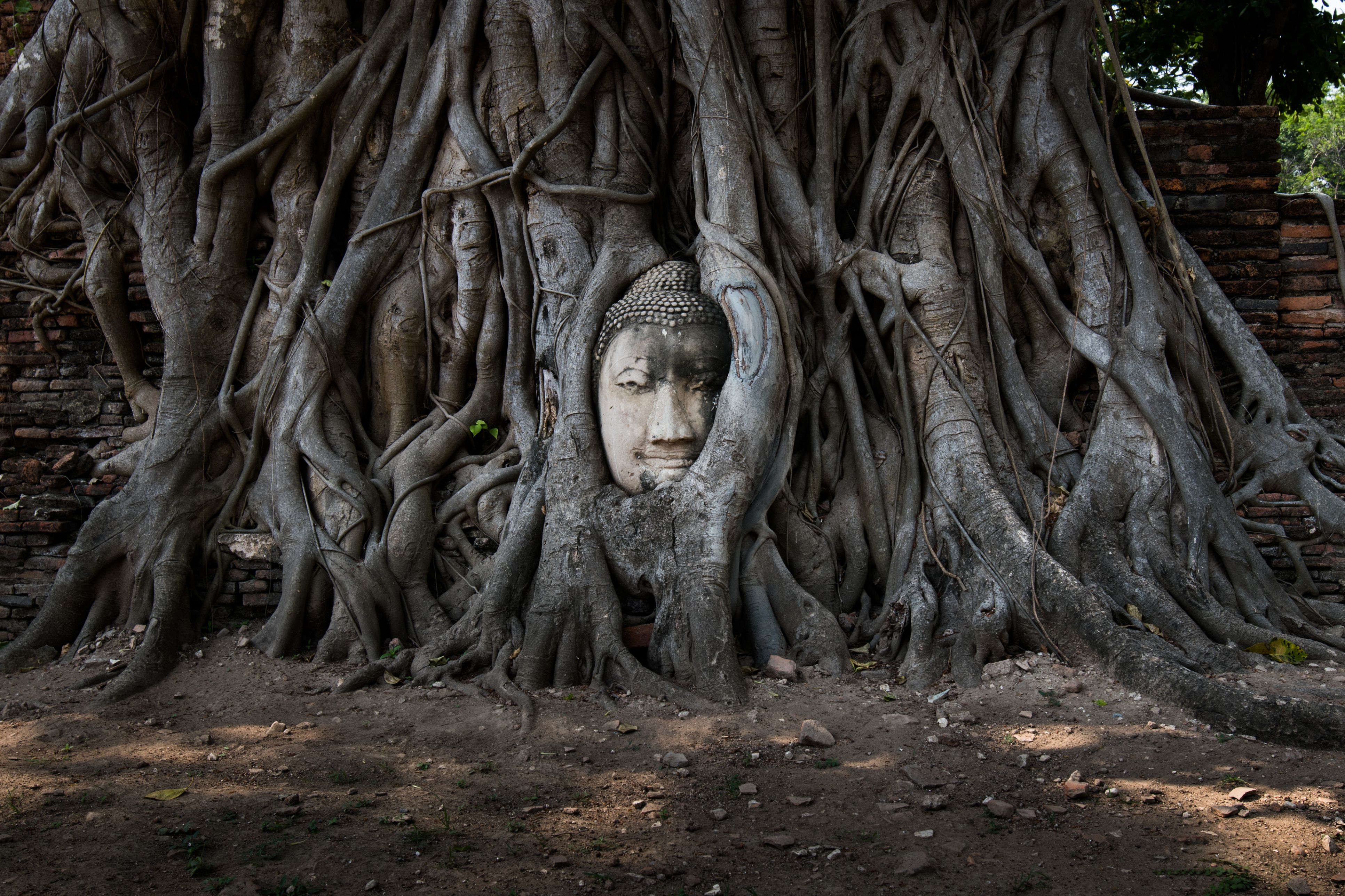 Sandstone Buddha Head Entwined In Roots Of Bodhi Tree