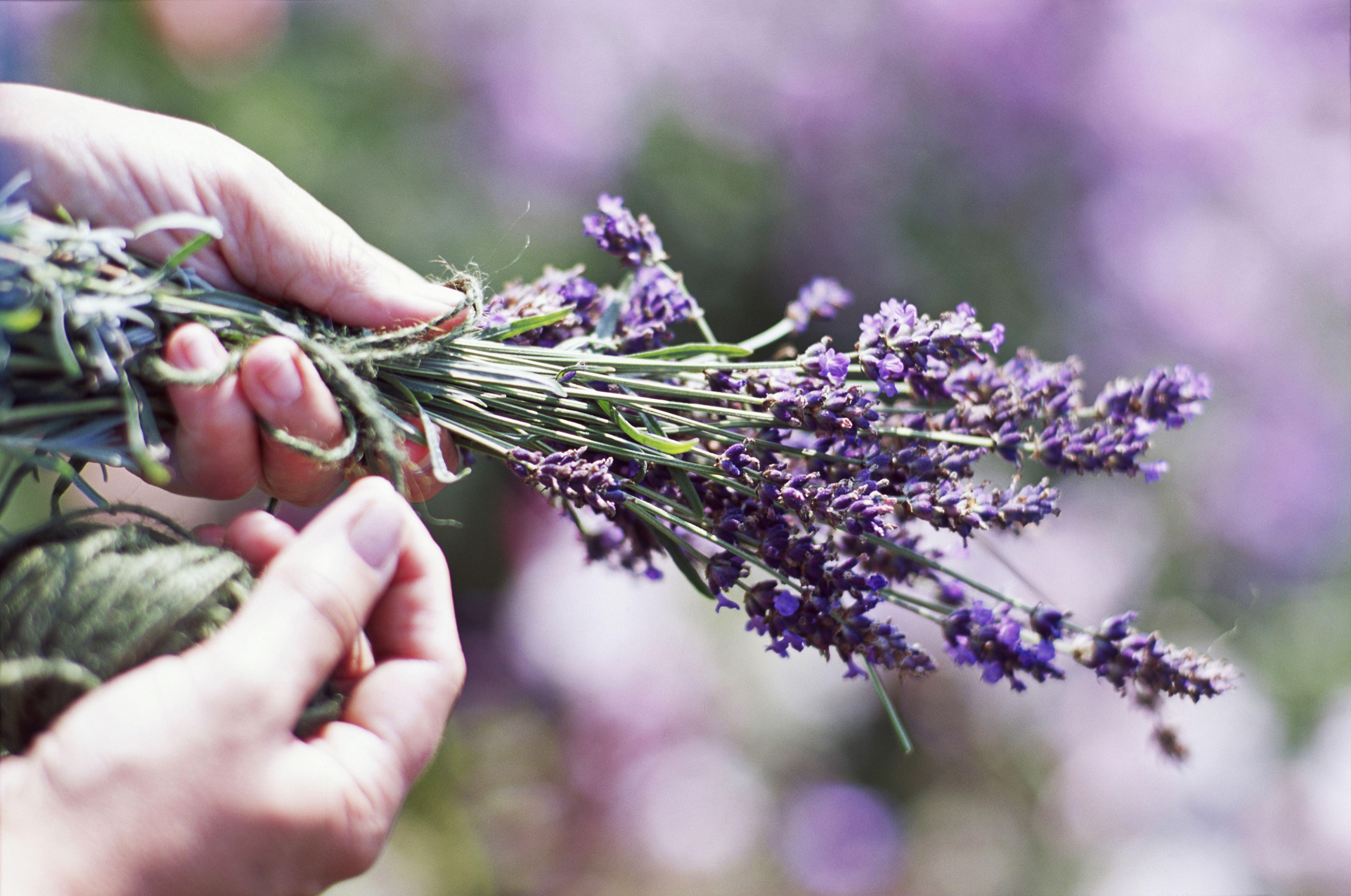 Hand tied bunch of cut Lavender (Lavandula)