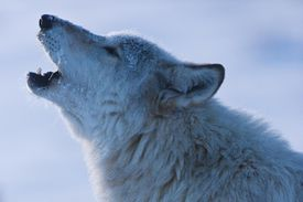 Wolf Howling in Yellowstone