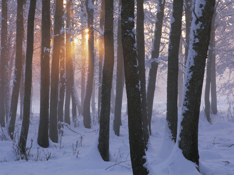 Alder forest, winter