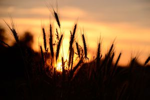 Wheat Field Against Sunset Sky