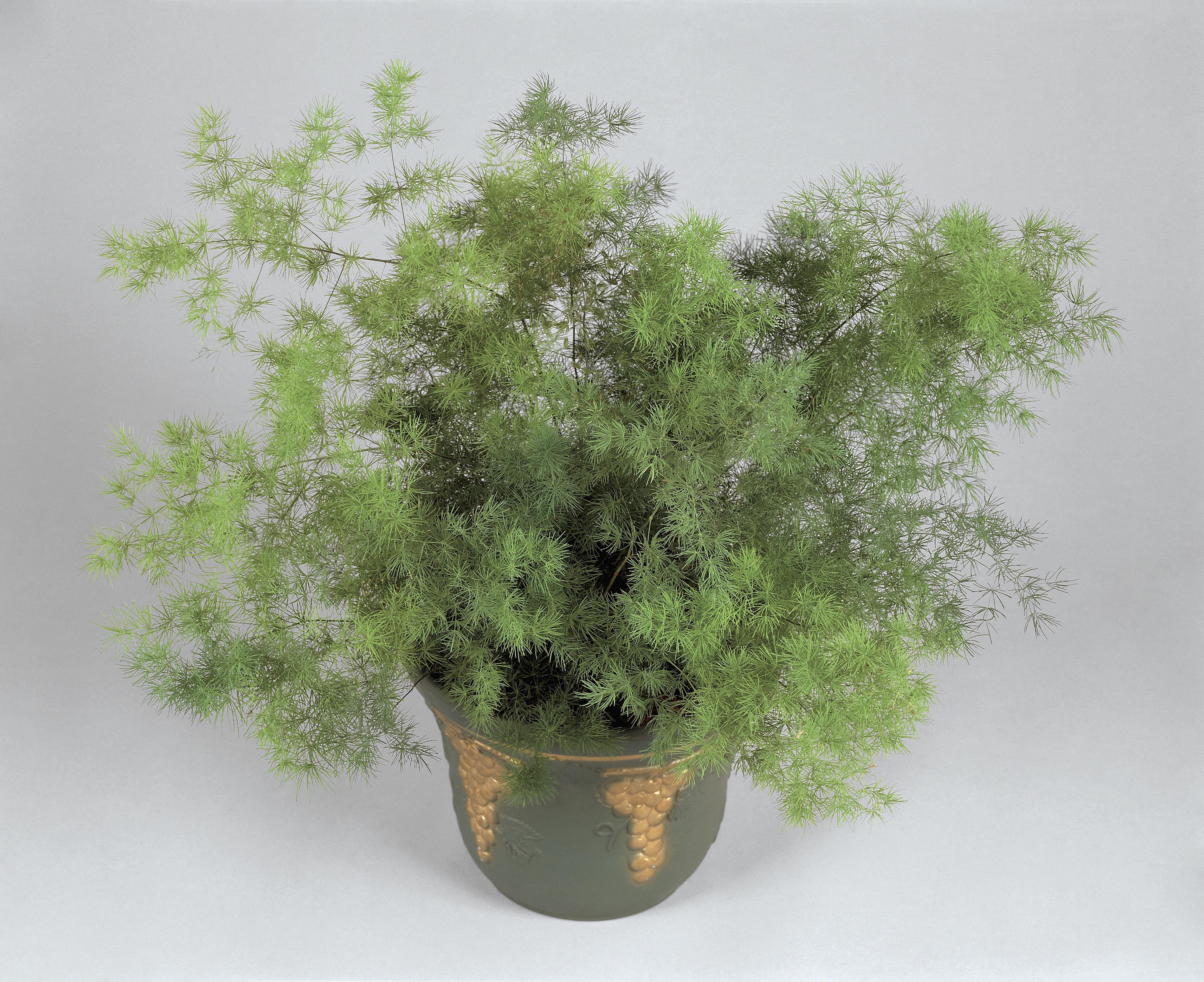 Close-up of an Asparagus Fern plant (Asparagus plumosus)
