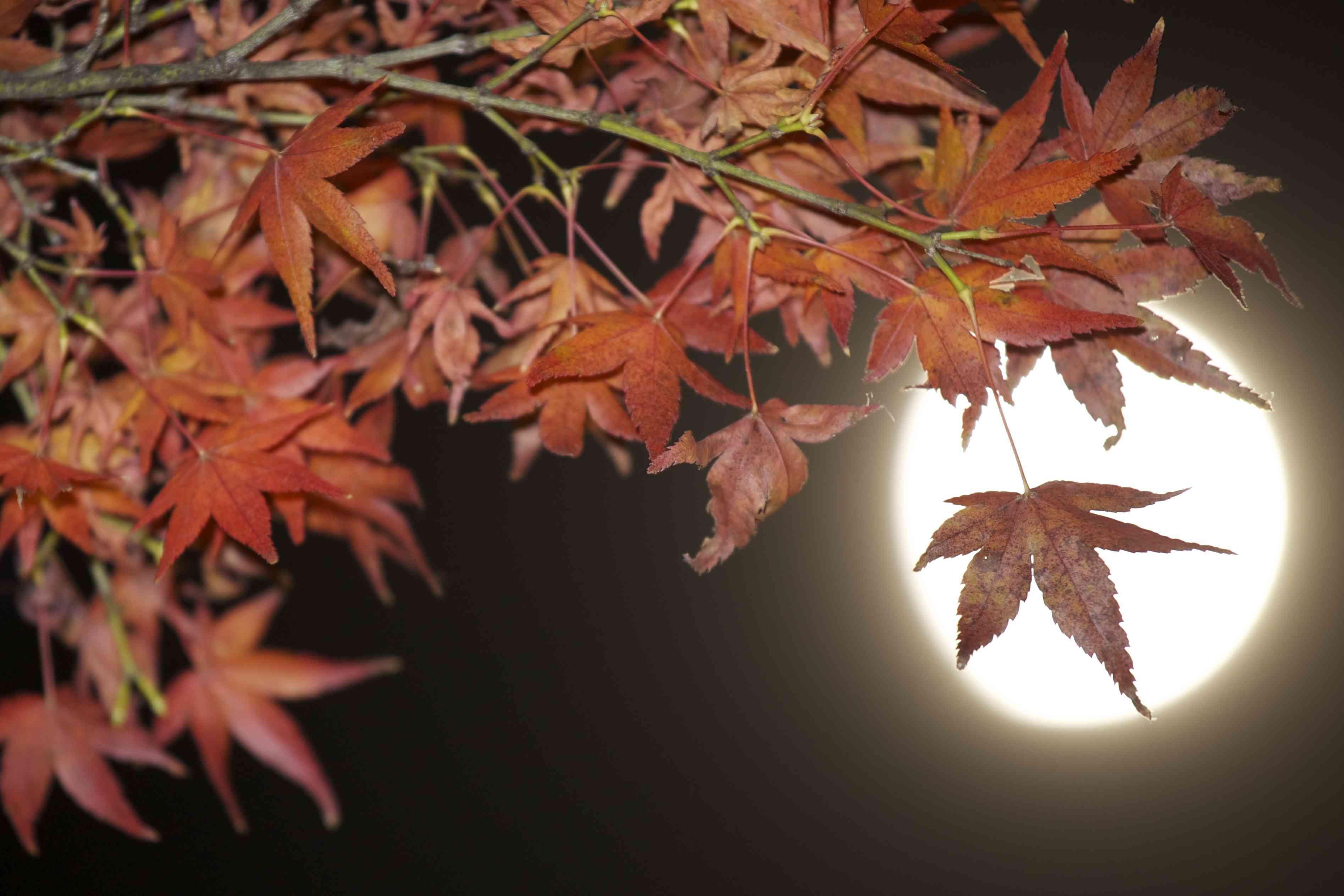 Maple Eclipse